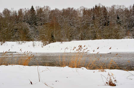 Winter landscape. The common reed grows on the river bank.