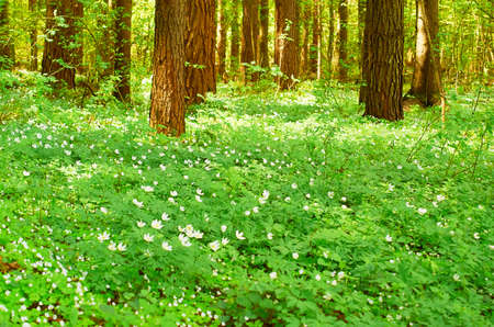 Spring forest landscape. A lush carpet of blooming anemone between coniferous trees. High quality photo Imagens