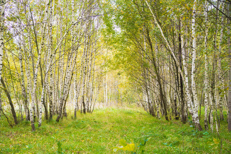 Birch Grove. Russia. Green leaves. Enchanted forest 스톡 콘텐츠