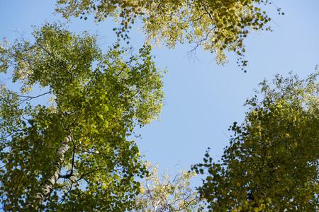 crone: Blue sky. Crones of trees. Birch Grove. Green trees.