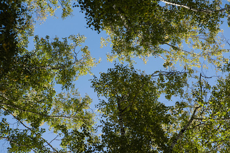 unaffected: Blue sky. Crones of trees. Birch Grove. Green trees.