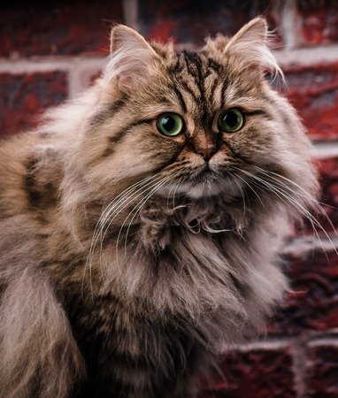 Persian cat with green eyes on brick wall background. Macro. Stock Photo