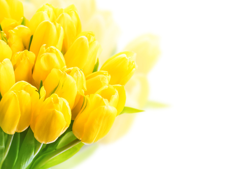 Yellow tulips on white background. Beautiful yellow tulips close up. Easter border design. Copy space for your text. Valentines Day and Mothers Day background.