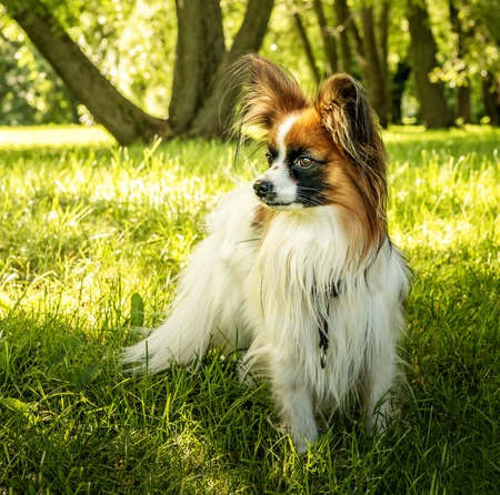 Dog Papillon. Papillon. Funny small dog on green grass.