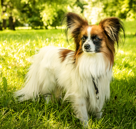 Dog Papillon. Papillon. Funny small dog on green grass.