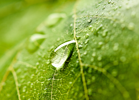 Grape leaf with dew drops. Beautiful drops of rain water on a green leaf. Drops of dew in the morning glow in the sun. Beautiful leaf texture in nature. Natural background. Zdjęcie Seryjne
