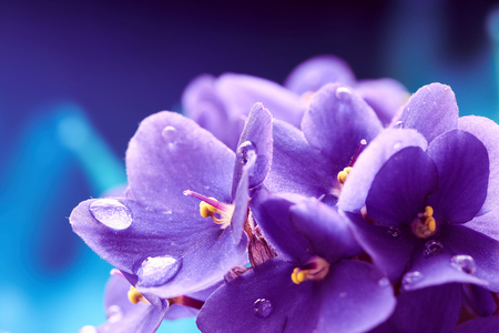Beautiful spring background with violets flower. Macro shot. Wallpaper.