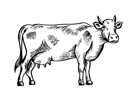 Sketch of cow drawn by hand. Livestock. Cattle. Animal grazing. Vector illustration like engraving.