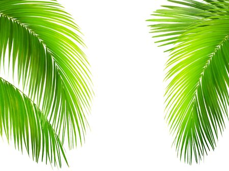 Green leaves of palm tree isolated on white background. Tropical and coconut leaf.