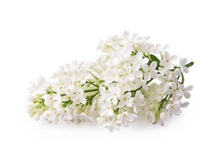 Beautiful branch of white lilac flowers isolated on a white background Reklamní fotografie