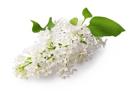 Branch of white lilac flowers with green leaf isolated on white background. Reklamní fotografie