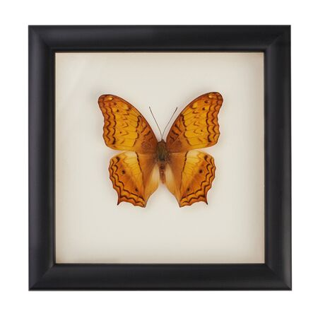 Beautiful yellow and orange butterfly in a black frame under glass. A rare species of butterflies. Vindula erota butterfly isolated on white background.