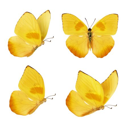 Set van vier mooie gele vlinders. Phoebis philea vlinder geïsoleerd op een witte achtergrond. Vlinder met uitgespreide vleugels en tijdens de vlucht.