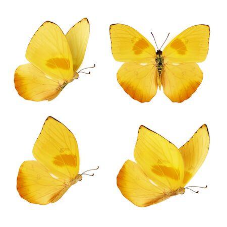 Zestaw czterech pięknych żółtych motyli. Phoebis philea motyl na białym tle. Motyl z rozpostartymi skrzydłami iw locie.