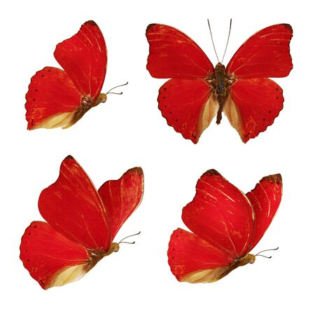Set of four beautiful red butterflies Cymothoe excelsa isolated on white background. Butterfly Nymphalidae with spread wings and in flight. Stok Fotoğraf