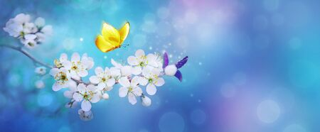 Beautiful branch of flowering apricot tree with yellow butterfly in blue or violet spring light background macro. Blue neon color image nature. Banner with copy space. Stok Fotoğraf