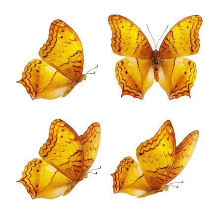 Set of four beautiful yellow butterflies. Orange Vindula erota butterfly isolated on white background. Butterfly with spread wings and in flight.