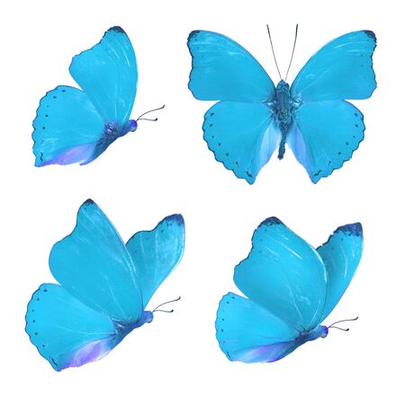 Set of four beautiful blue butterflies Cymothoe excelsa isolated on white background. Butterfly Nymphalidae with spread wings and in flight. Stok Fotoğraf