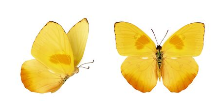 Two beautiful yellow butterflies Phoebis philea isolated on white background. Butterfly with spread wings and in flight. Stok Fotoğraf