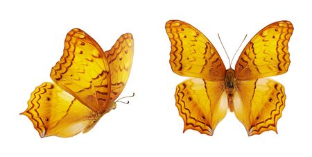 Two beautiful yellow butterflies. Orange Vindula erota isolated on white background. Butterfly with spread wings and in flight.