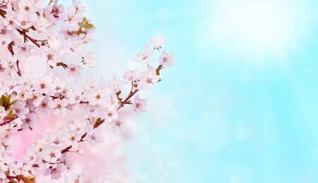 Branches of blossoming apricot on blue background with sunrise. Beautiful floral spring abstract background of nature. Banner for wedding, easter and spring greeting cards with copy space