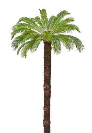 Beautiful palm tree isolated on white background Stok Fotoğraf
