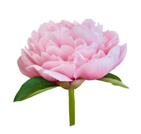 Beautiful peony flower on white background. Pink flower isolated. Stok Fotoğraf