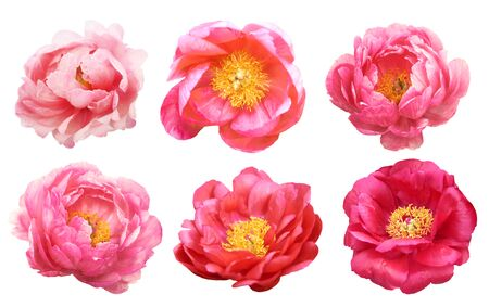 Beautiful peonies on white background. Pink flowers isolated. Zdjęcie Seryjne - 137582459
