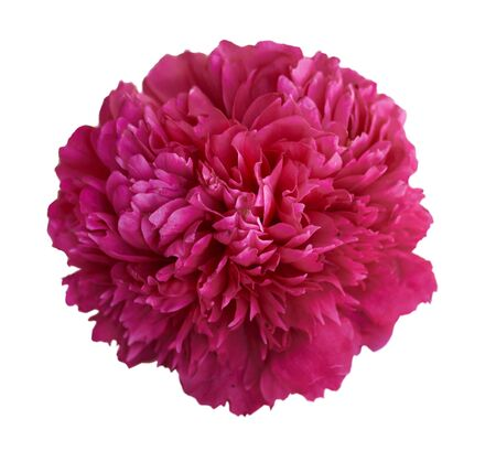 Beautiful peony flower on white background. Pink or red flower isolated.