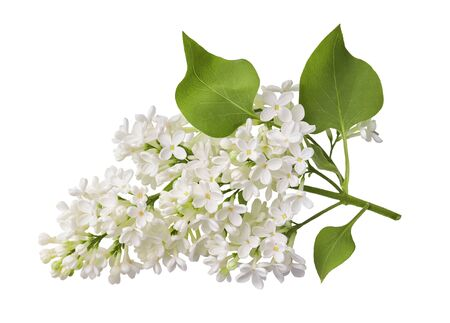 Branch of white lilac flower with fresh leaves isolated on white background.