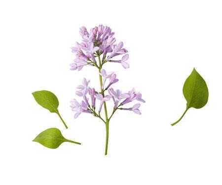 Branch of lilac flowers isolated on white background Zdjęcie Seryjne