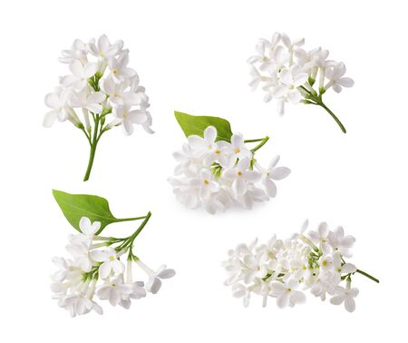 Set of blooming lilac. Branches of lilac flowers isolated on white background. Stok Fotoğraf
