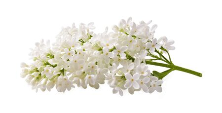 Branch of white lilac flowers isolated on white background.