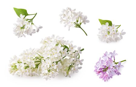 Set of blooming lilac. Branches of lilac flowers isolated on white background. Zdjęcie Seryjne