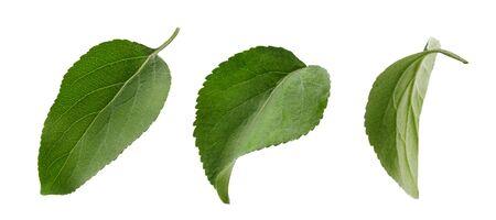 Fresh apple leaf isolated on white background. Set of green apple leaves. Zdjęcie Seryjne