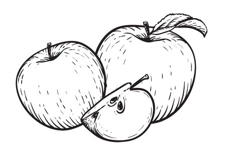 Engraved vector illustration of an apples with apple half. Vintage. Hand realistic drawing.