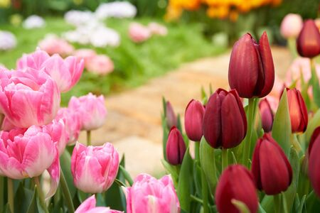 Beautiful garden background with tulips and and garden stone path. Tulip flowers on spring background