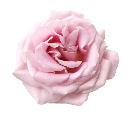 Beautiful rose flower isolated on white background. Standard-Bild