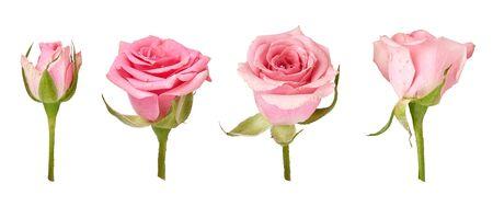 Set of beautiful rose flowers isolated on white background. Rose bud on a green stem. Studio shot. Stock Photo