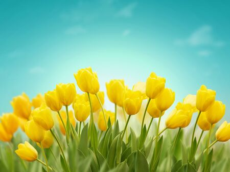 Beautiful Spring background with yellow tulips on blue sky. Concept of spring or summer