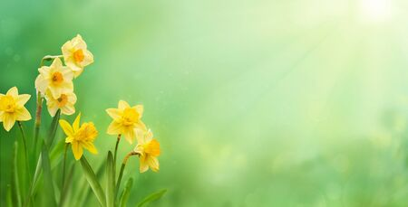 Beautiful yellow daffodils in sunshine in springtime. Spring or summer concept.