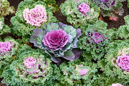 Top view of colorful and beautiful ornamental cabbages. Various decorative cabbage.