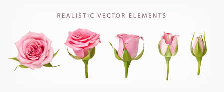 Realistic vector elements set of pink roses. Pink bud of rose flower and an open flower isolated on white.