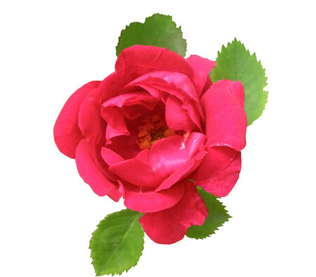 bright colour: The pink rose of bright colour with light green leaves is isolated on a white background.