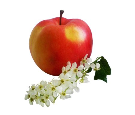 florets: The red apple with yellow a juicy ripe apple lays near a branch with white florets of a bird cherry.Objects are isolated on a white background