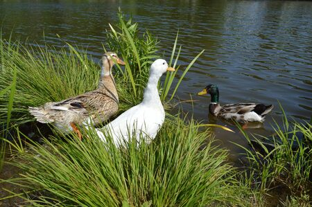 Three ducks in the pond: white Pekin, Mallard female (left) and Mallard male (right) Stok Fotoğraf