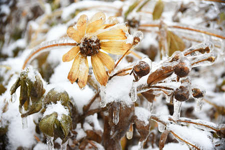Frosted yellow flower with snow and ice. Black-eyed Susan or Coneflowers. Russian winter.