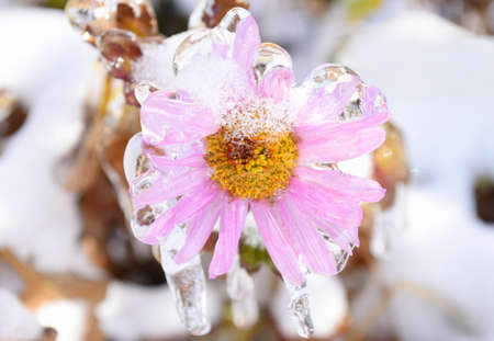 Frozen pink aster flower covered with ice and icicles on a winter day in russia
