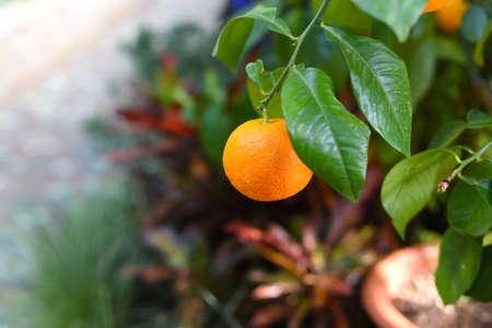 Small orange fruit growing on a tree.