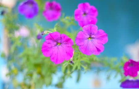 Pink Campanula (flower bell) growing in the garden